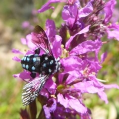 Thyreus caeruleopunctatus (Chequered cuckoo bee) at ANBG - 16 Feb 2018 by Christine