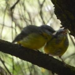 Eopsaltria australis at ANBG - 17 Feb 2018