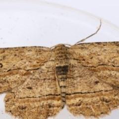Ectropis excursaria (Common Bark Moth) at Higgins, ACT - 19 Dec 2017 by Alison Milton