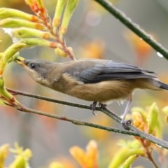Acanthorhynchus tenuirostris (Eastern Spinebill) at ANBG - 7 Jan 2018 by Alison Milton