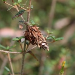 Hyalarcta huebneri (Leafy Case Moth) at ANBG - 7 Jan 2018 by Alison Milton