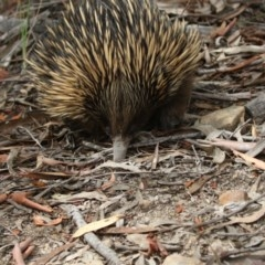 Tachyglossus aculeatus (Short-beaked Echidna) at ANBG - 8 Jan 2018 by Alison Milton