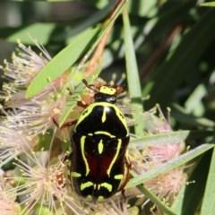 Eupoecila australasiae (Fiddler Beetle) at Higgins, ACT - 29 Jan 2018 by Alison Milton