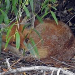 Vulpes vulpes (Red Fox) at Jerrabomberra Wetlands - 19 Feb 2018 by RodDeb