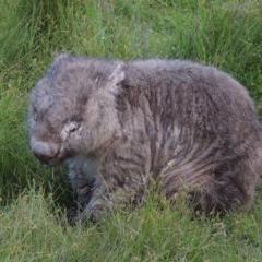 Vombatus ursinus (Wombat) at Rob Roy Range - 3 Feb 2018 by michaelb