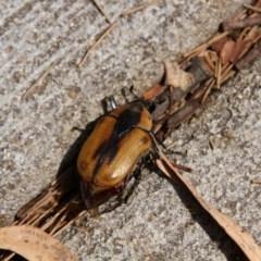 Chondropyga dorsalis (Cowboy beetle) at Hawker, ACT - 29 Jan 2018 by Alison Milton