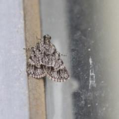 Spectrotrota fimbrialis (A Pyralid moth) at Higgins, ACT - 19 Feb 2018 by AlisonMilton