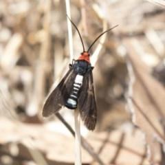 Hestiochora furcata (A zygaenid moth) at The Pinnacle - 20 Feb 2018 by AlisonMilton