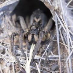 Tasmanicosa godeffroyi (Garden Wolf Spider) at Dunlop, ACT - 20 Feb 2018 by AlisonMilton