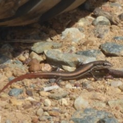 Morethia boulengeri (Boulenger's Skink) at Symonston, ACT - 20 Feb 2018 by Christine