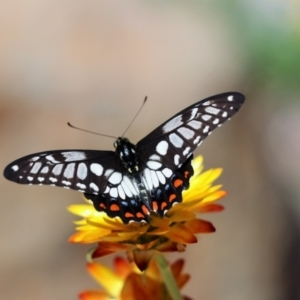 Papilio anactus at ANBG - 21 Feb 2018