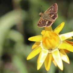 Dispar compacta (Barred skipper) at ANBG - 21 Feb 2018 by PeterR