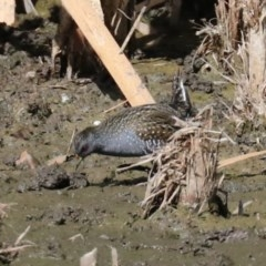 Porzana fluminea (Australian Spotted Crake) at Jerrabomberra Wetlands - 20 Feb 2018 by jbromilow50