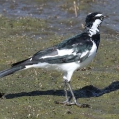 Grallina cyanoleuca (Magpie-lark) at Jerrabomberra Wetlands - 20 Feb 2018 by jbromilow50