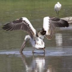 Pelecanus conspicillatus (Australian Pelican) at Jerrabomberra Wetlands - 20 Feb 2018 by jbromilow50