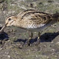Gallinago hardwickii (Latham's Snipe) at Jerrabomberra Wetlands - 20 Feb 2018 by jbromilow50