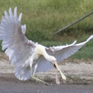 Platalea flavipes at Jerrabomberra Wetlands - 21 Feb 2018