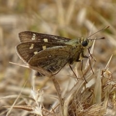 Trapezites luteus (Yellow Ochre, Rare White-spot Skipper) at Red Hill Nature Reserve - 21 Feb 2018 by roymcd