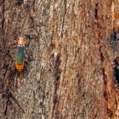 Cantharidae sp. (family) (Soldier beetle) at Tidbinbilla Nature Reserve - 20 Feb 2018 by RodDeb