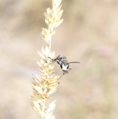 Sphex cognata (Black Digger Wasp) at Red Hill Nature Reserve - 21 Feb 2018 by JackyF
