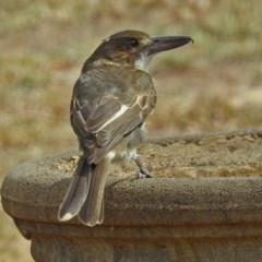 Cracticus torquatus (Grey Butcherbird) at Macarthur, ACT - 21 Feb 2018 by RodDeb