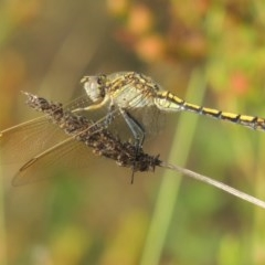 Orthetrum caledonicum (Blue Skimmer) at Conder, ACT - 5 Feb 2018 by michaelb