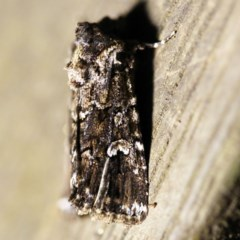 Ectopatria horologa (A Noctuid moth) at O'Connor, ACT - 21 Feb 2018 by ibaird