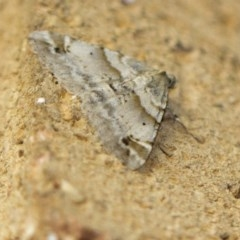 Syneora hemeropa (Ring-tipped Bark Moth) at Higgins, ACT - 15 Feb 2018 by Alison Milton