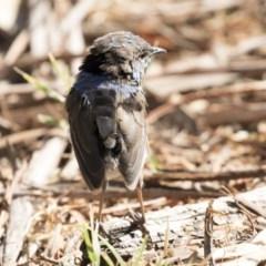 Malurus cyaneus (Superb Fairywren) at Jerrabomberra Wetlands - 14 Feb 2018 by Alison Milton