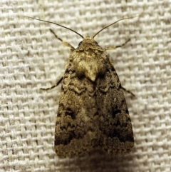 Proteuxoa capularis (Half-moon Noctuid) at O'Connor, ACT - 18 Feb 2018 by ibaird