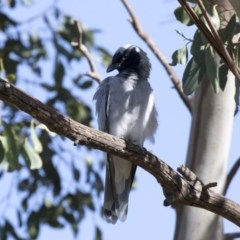 Coracina novaehollandiae (Black-faced Cuckooshrike) at Jerrabomberra Wetlands - 14 Feb 2018 by Alison Milton
