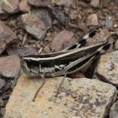 Macrotona australis (Common Macrotona Grasshopper) at Namadgi National Park - 10 Feb 2018 by HarveyPerkins
