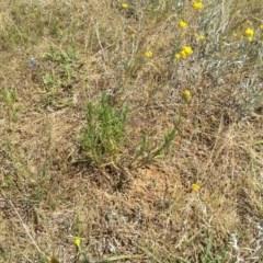Rutidosis leptorhynchoides (Button wrinklewort) at Jerrabomberra Grassland - 9 Dec 2016 by samreid007