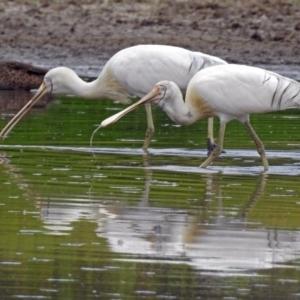 Platalea flavipes at Jerrabomberra Wetlands - 22 Feb 2018