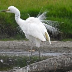 Ardea alba (Great Egret) at Jerrabomberra Wetlands - 22 Feb 2018 by RodDeb