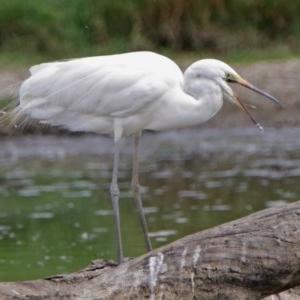 Ardea alba at Jerrabomberra Wetlands - 22 Feb 2018