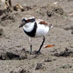 Elseyornis melanops (Black-fronted Dotterel) at Jerrabomberra Wetlands - 22 Feb 2018 by RodDeb