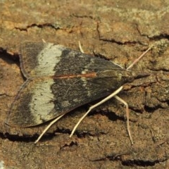 Uresiphita ornithopteralis (Tree Lucerne Moth) at Conder, ACT - 4 Feb 2018 by michaelb