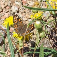 Junonia villida (Meadow Argus) at Sth Tablelands Ecosystem Park - 1 Feb 2018 by galah681