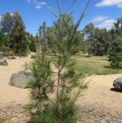 Allocasuarina luehmannii (Bulloak) at Sth Tablelands Ecosystem Park - 1 Feb 2018 by galah681