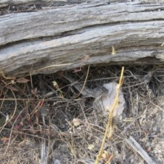 Amphibolurus muricatus (Jacky Lizard) at Yarrow, NSW - 24 Feb 2018 by KShort