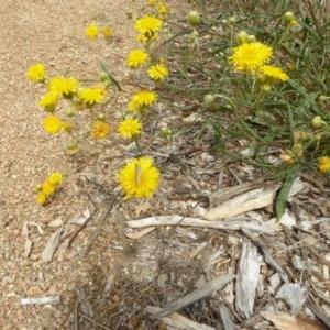 Podolepis jaceoides at Sth Tablelands Ecosystem Park - 30 Jan 2018