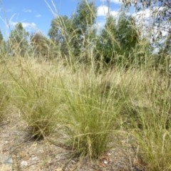 Austrostipa verticillata at Sth Tablelands Ecosystem Park - 1 Feb 2018