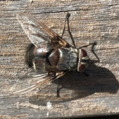 Rutilia (Donovanius) sp. (genus & subgenus) (A Bristle Fly) at National Arboretum Forests - 19 Feb 2018 by AndyRussell