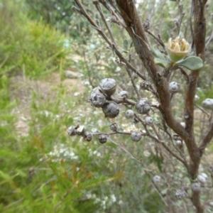 Leptospermum myrtifolium at Sth Tablelands Ecosystem Park - 31 Dec 2017