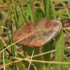 Acodia undescribed species (A Geometer moth) at Namadgi National Park - 24 Feb 2018 by JohnBundock