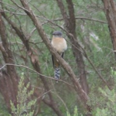 Cacomantis flabelliformis (Fan-tailed Cuckoo) at Canberra Central, ACT - 6 Nov 2009 by KMcCue