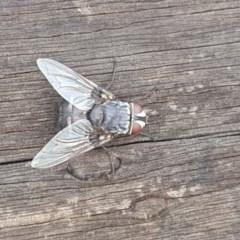 Rutilia (Donovanius) sp. (genus & subgenus) (A Bristle Fly) at Mount Mugga Mugga - 25 Feb 2018 by Mike