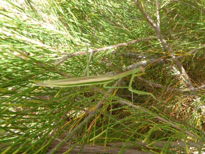 Tenodera australasiae at Sth Tablelands Ecosystem Park - 26 Feb 2018