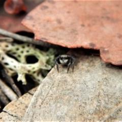 Salpesia sp. (genus) (Salpesia Jumping Spider) at Aranda Bushland - 26 Feb 2018 by CathB